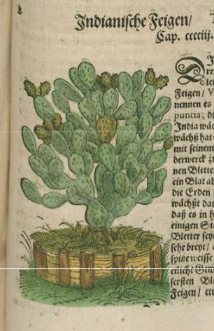 Lonitzer's cactus, 1582