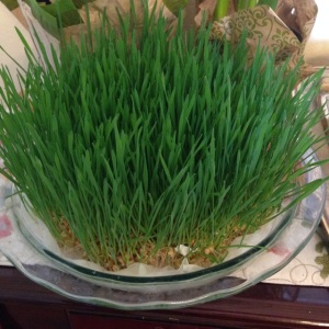 A successful bowl of sprouting wheat!