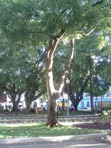 450px-Brazilwood_tree_in_Vitória,_ES,_Brazil
