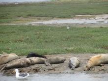 2017-05_Elkhorn Slough Harbor Seals