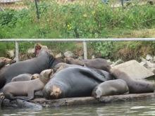 2017-05_Elkhorn Slough Sea Lions